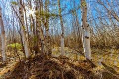 Na primavera floresta Foto de Stock Royalty Free