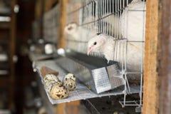 Na przepiórki gospodarstwa rolnego ptakach w klatkach Fotografia Stock