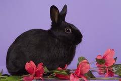 Na purpurowym tle czarny karłowaty królik Zdjęcie Royalty Free