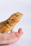 Na ręce Agama brodata jaszczurka Zdjęcia Stock