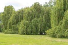Na Rhine w Niemcy z wielką ścianą srebni wierzbowi drzewa zdjęcia stock