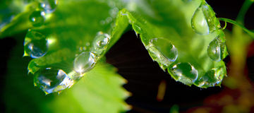 Na roślinie wodne krople Fotografia Stock