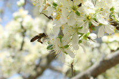 Na słonecznym dniu pszczoła pije nektar Zdjęcia Stock