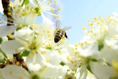 Na słonecznym dniu pszczoła pije nektar Obrazy Royalty Free