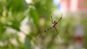 Na sieci ogrodowy paj?k zdjęcia royalty free