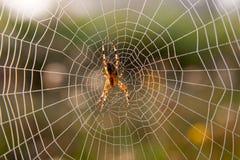 Na sieci ogrodowy pająk Obraz Stock