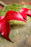Na skale czerwony liść klonowy Obrazy Royalty Free