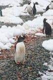 Na skalistej plaży Gentoo pingwin, Fotografia Stock