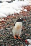 Na skalistej plaży Gentoo pingwin, Obrazy Stock