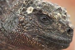 Na Sombrero Chino morska iguana zdjęcie stock