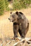 Na starym drzewie Niedźwiadkowa grizzly pozycja Obraz Royalty Free