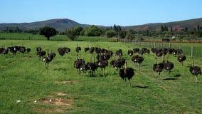 Na strusim gospodarstwie rolnym w Południowa Afryka Fotografia Stock