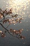 Na superfície das flores de cerejeira fotos de stock royalty free