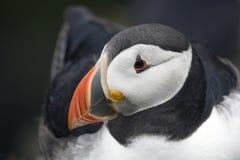 Na swój gniazdeczku maskonura obsiadanie, Shetland Wyspy Obraz Stock