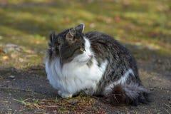 Na terra o gato tem o alimento e está olhando para a frente a fotos de stock