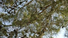 Na tle niebieskie niebo, gałąź, iglasty drzewo z rożkami zdjęcie wideo