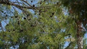 Na tle niebieskie niebo, gałąź, iglasty drzewo z rożkami kiwa w wiatrze zbiory wideo