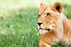 na trawę lwicy leżącego young Fotografia Stock