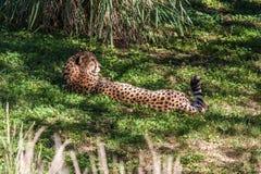 Na Trawiastym Skłonie geparda Lying on the beach Obrazy Royalty Free