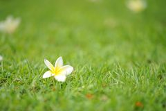 Na trawie biały kwiaty Zdjęcia Stock