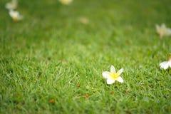 Na trawie biały kwiaty Obraz Royalty Free