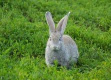 Na trawie królika obsiadanie Zdjęcia Stock