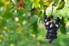 Na winogradzie czarny winogrona Zdjęcie Stock