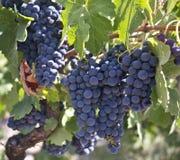 Na Winogradzie czerwoni Winogrona Zdjęcie Royalty Free