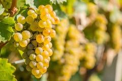 Na Winogradzie złociści Winogrona Obraz Stock