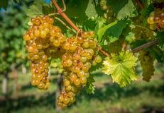 Na Winogradzie złociści Winogrona Zdjęcie Stock