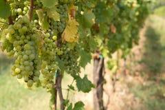 Na winogradzie zieleni winogrona Obraz Stock