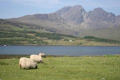 na wyspie skye owiec Fotografia Royalty Free