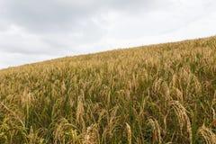 Na wzgórzu Rice pole Obraz Royalty Free