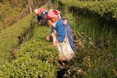 Na zbocze góry kobietach Akha grupa etnicza, zbiera herbacianych liście Obrazy Royalty Free