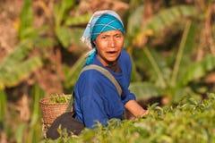 Na zbocze góry kobietach Akha grupa etnicza, zbiera herbacianych liście Obraz Royalty Free