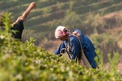 Na zbocze góry kobietach Akha grupa etnicza, zbiera herbacianych liście Obraz Stock