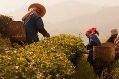 Na zbocze góry kobietach Akha grupa etnicza, zbiera herbacianych liście Zdjęcie Stock
