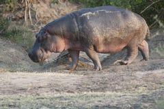 Na zewnątrz wody hipopotama odprowadzenie Fotografia Royalty Free