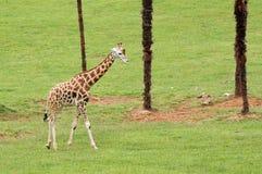 Na zielonej trawie ładna żyrafa Obraz Stock