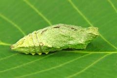 Na zielonym liść motylia larwa. Zdjęcia Royalty Free