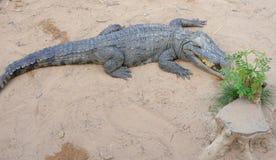 Na ziemi syjamski krokodyl. Krokodyla Gospodarstwo rolne. zdjęcie royalty free