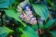naa sakae или quadrangulare combretum Стоковое Фото