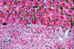 Naadloze achtergrond van overvloeds de roze natuurlijke bloemen Royalty-vrije Stock Foto's