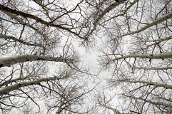 Naakt Aspen Branches Stock Foto's