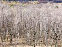 Naakte berk en eiken bomen in bos in de vroege lente Royalty-vrije Stock Foto