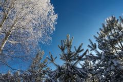 Naakte berk en pijnboombomen met bevroren takken stock foto