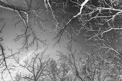Naakte bomen die in zwart-wit schot in Kentucky omringen die omhoog eruit zien royalty-vrije stock fotografie