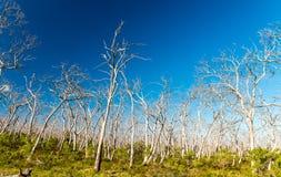 Naakte bomen in het Grote Nationale Park van Otway, Victoria - Australië Stock Foto's