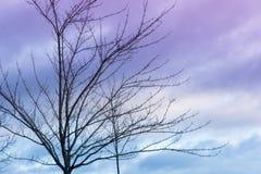 Naakte bomen met kleine knoppen tegen een blauwe en purpere zonsonderganghemel Stock Fotografie