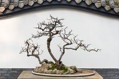 Naakte bonsaiboom voor een zinkwitmuur Royalty-vrije Stock Foto